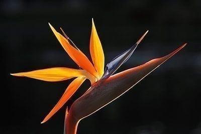 Bird Of Paradise - Precious Petals