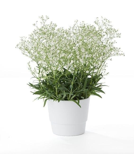 Get Your Gypsophila Paniculata Flower Arrangement at Precious Petals Flower Shop in Dublin