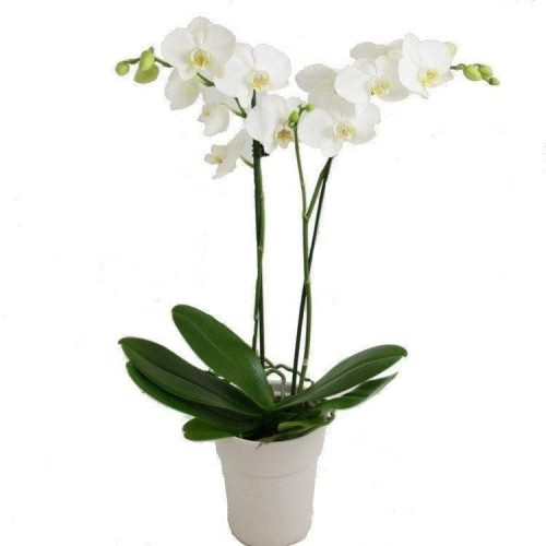 Get Your White Orchid at Precious Petals Flower Shop in Dublin